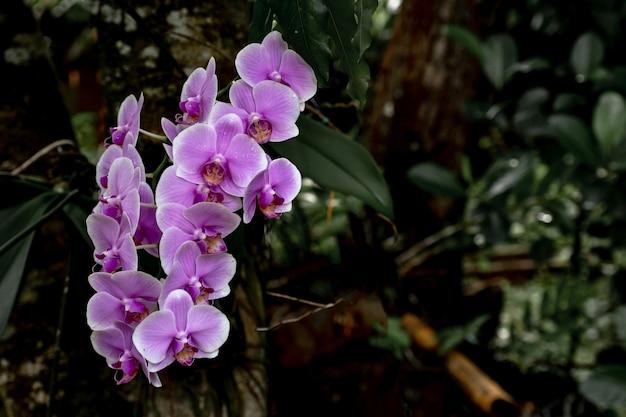 Hermosa flor de orquídea púrpura que florece en el árbol en asia salvaje.