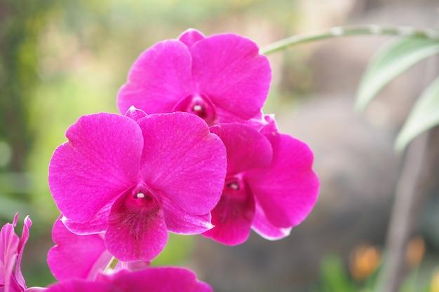 Hermosa flor de orquídea rosada con luz solar en el jardín en invierno o primavera con fondo borroso