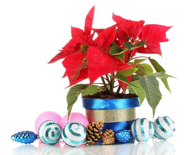 Hermosa flor de pascua con bolas de navidad aislado en blanco