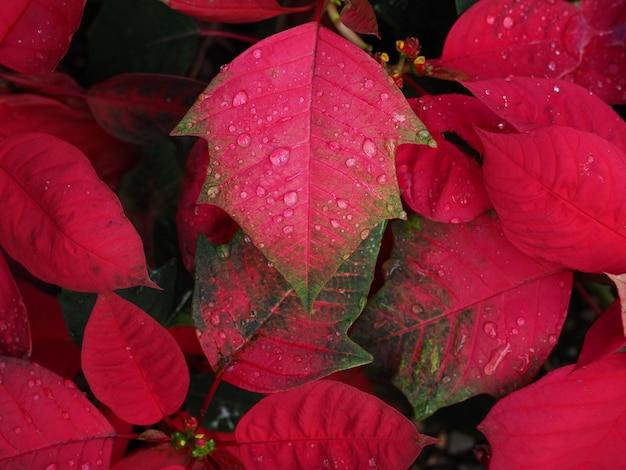 Hermosa flor de pascua con gotas de lluvia. flor tradicional de navidad.
