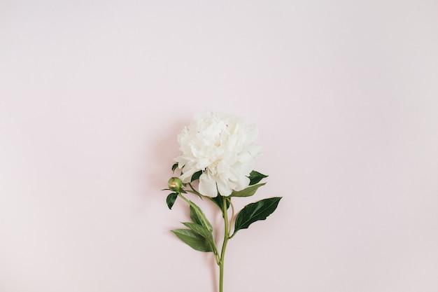 Hermosa flor de peonía blanca en rosa
