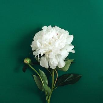Hermosa flor de peonía blanca en verde