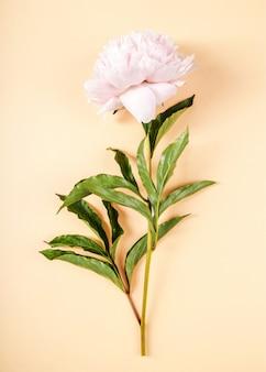 Hermosa flor de peonía fresca