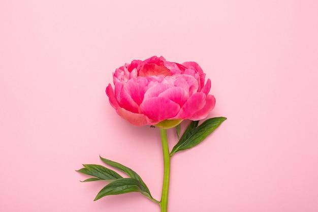 Hermosa flor de peonía rosa en rosa pastel