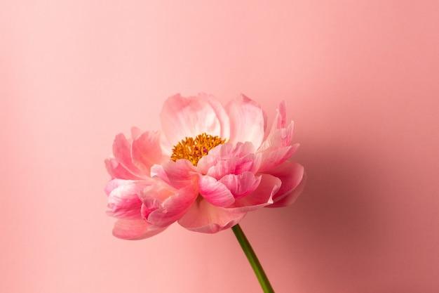 Hermosa flor de peonía rosa sobre superficie de color rosa pastel con espacio de copia