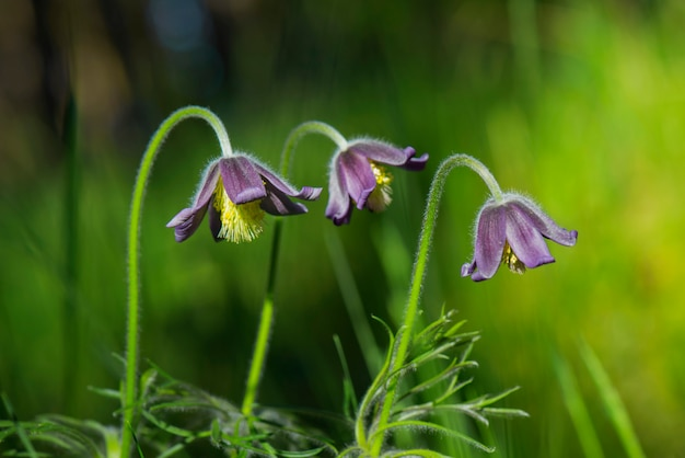 Hermosa flor de primavera pequeña púrpura. pulsatilla montana.