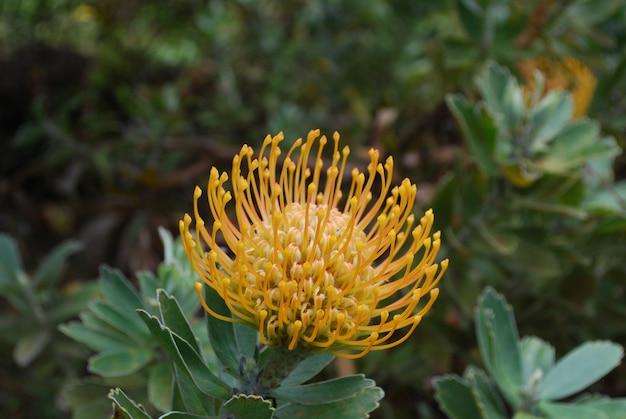 Hermosa flor de protea amarilla floreciente en hawai