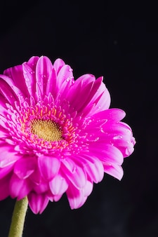 Hermosa flor rosa brillante fresca en rocío