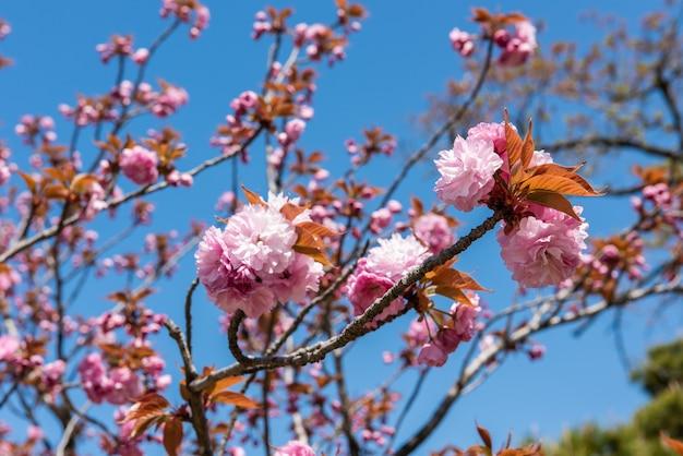 Hermosa flor rosa sakura que florece en la rama, cielo azul.