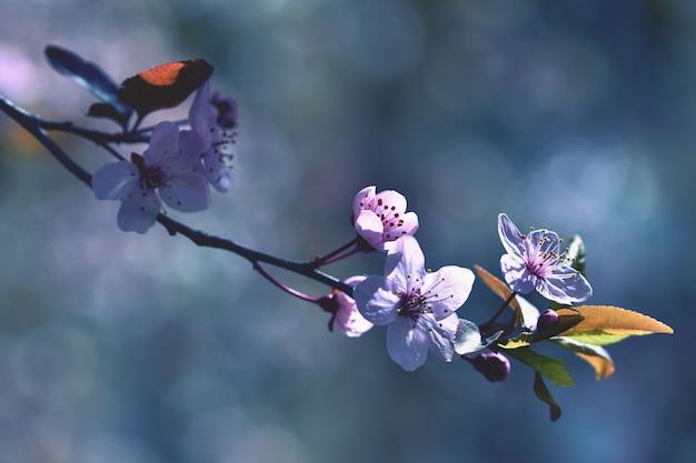 Hermosa floración cereza japonesa sakura. temporada de fondo. fondo borroso natural al aire libre wi