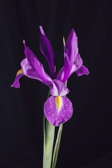 Hermosa floración púrpura fresca en rocío
