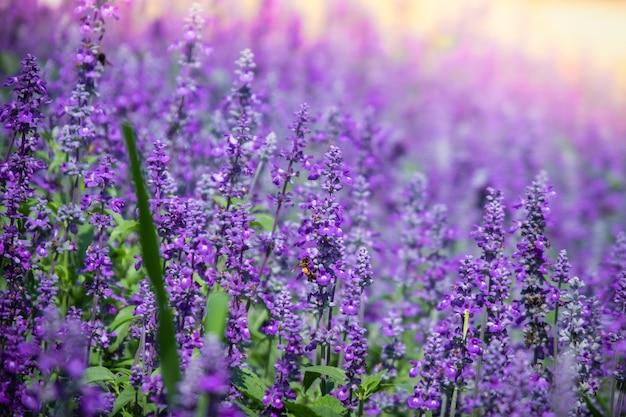 Hermosa floración púrpura salvia (salvia azul) campo de flores en el jardín al aire libre