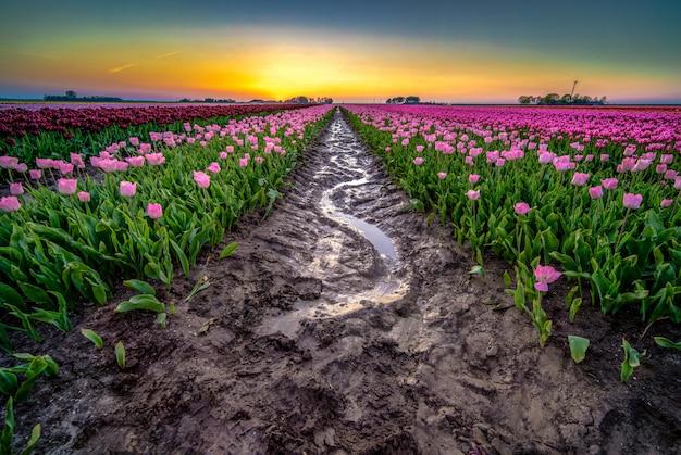 Hermosa foto de agua de lluvia reflectante en medio de un campo de tulipanes en los países bajos