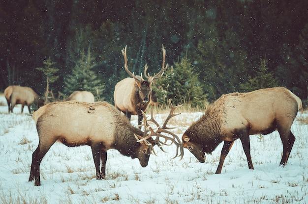 Hermosa foto de alces peleando con sus cuernos en la nieve.