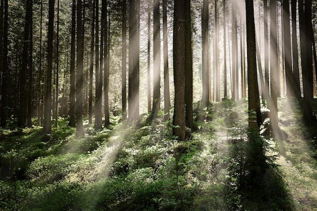 Hermosa foto de un bosque con árboles altos y brillantes rayos de sol brillando