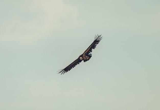 Hermosa foto de un buitre leonado volando con un cielo nublado