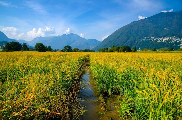 Hermosa foto de un campo de arroz en las montañas de ticino en suiza