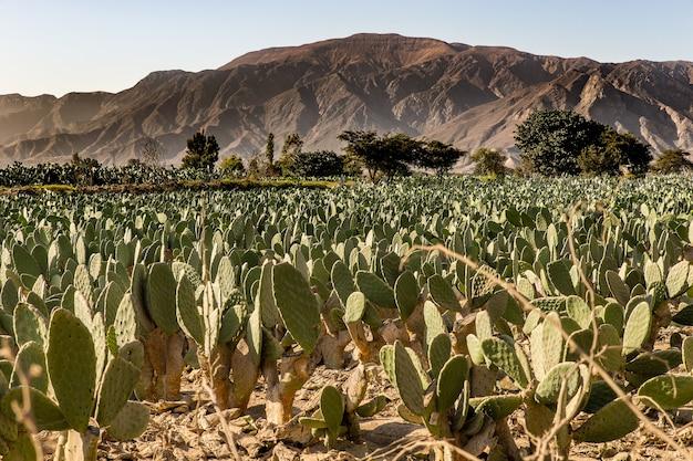 Hermosa foto de un campo de cactus con árboles y montañas en la distancia