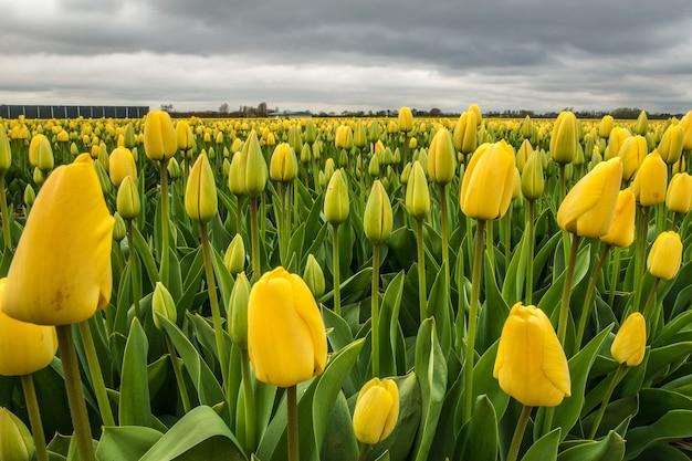 Hermosa foto de un campo de flores amarillas con un cielo nublado en la distancia