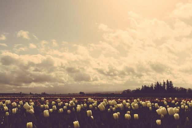 Hermosa foto de un campo oscuro de tulipanes bajo hermoso cielo nublado