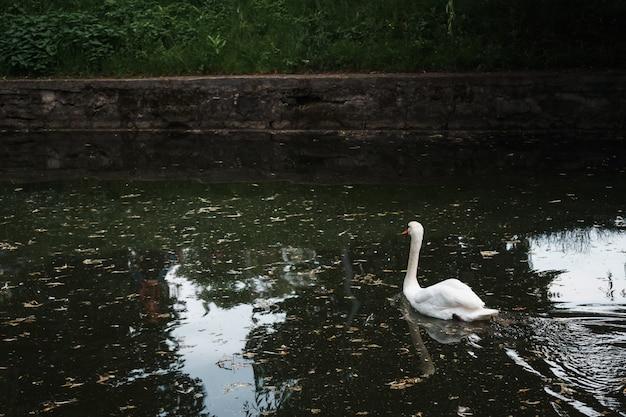 Hermosa foto de cisne de tundra en el lago