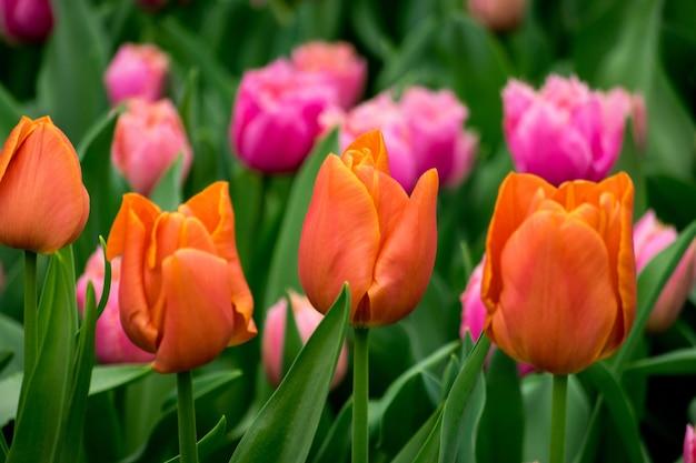 Hermosa foto de los coloridos tulipanes en el campo en un día soleado