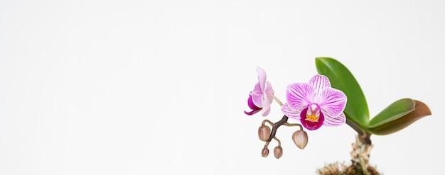 Hermosa foto de una flor llamada sander's phalaenopsis sobre un fondo blanco.