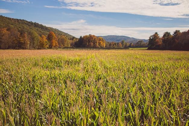 Hermosa foto de un gran campo de maíz durante la primavera