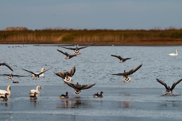 Hermosa foto de graylags volando sobre un lago