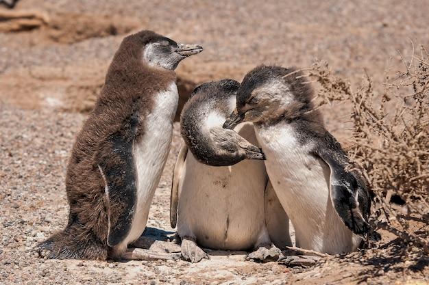 Hermosa foto del grupo de pingüinos africanos: concepto de calentamiento global