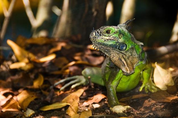 Hermosa foto de una iguana verde con un fondo borroso