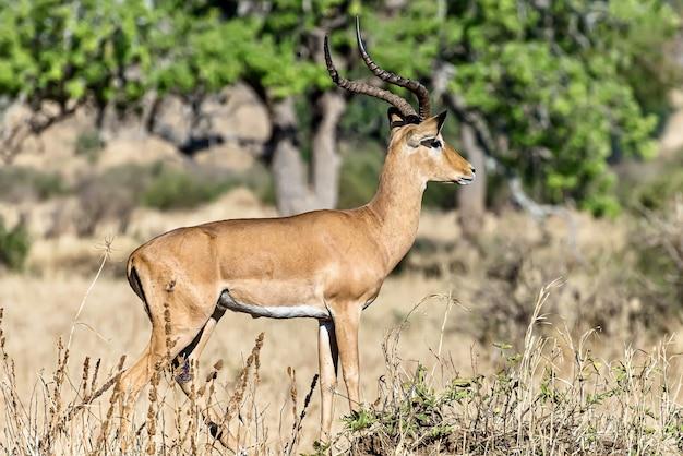 Hermosa foto de un impala macho en los campos