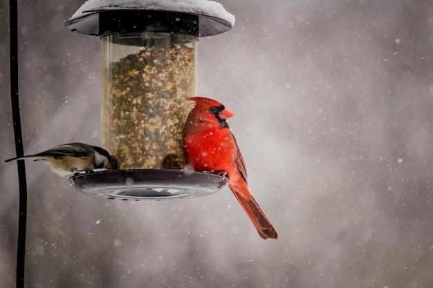Hermosa foto de un lindo pájaro cardenal norteño en un día de invierno