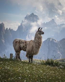 Hermosa foto de una llama blanca en el campo de hierba con montañas al fondo