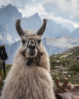 Hermosa foto de una llama blanca mirando a la cámara con montañas borrosas en el fondo