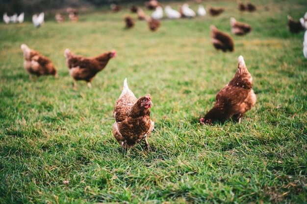 Hermosa foto de pollos en el césped de la granja en un día soleado