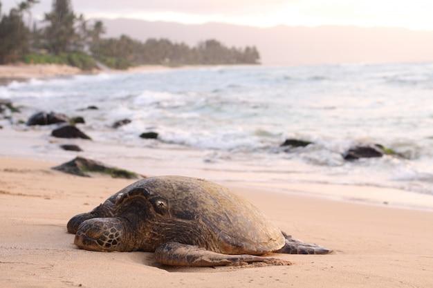 Hermosa foto de una tortuga gigante en la costa arenosa
