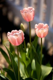Hermosa foto de los tulipanes de color rosa claro que brillan bajo los rayos del sol