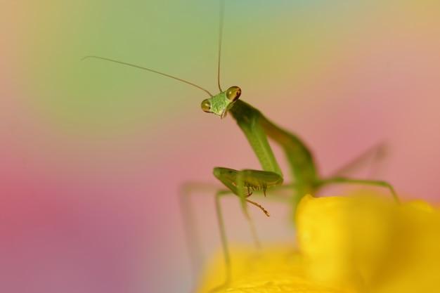 Hermosa fotografía macro de una mantis verde sobre una flor amarilla