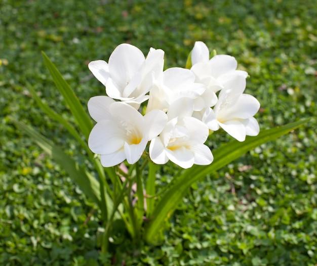 Hermosa fresia blanca