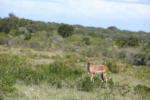 Hermosa gacela de pie solo en medio de un campo cubierto de césped y árboles