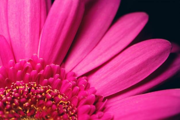 Hermosa gerbera rosa brillante