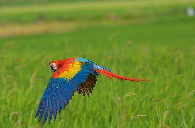 Hermosa guacamayo volando acción en el campo
