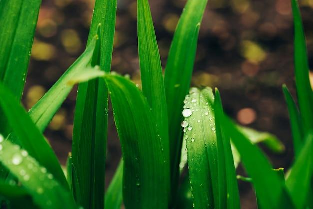 Hermosa hierba verde brillante brillante con gotas de rocío de cerca con espacio de copia