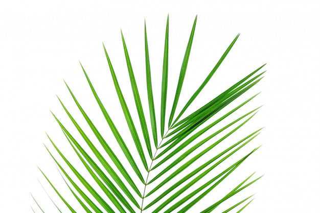 Hermosa hoja de palma aislada sobre fondo blanco. planta exótica
