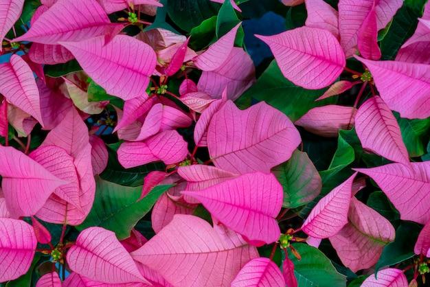 Hermosa hoja rosa y verde