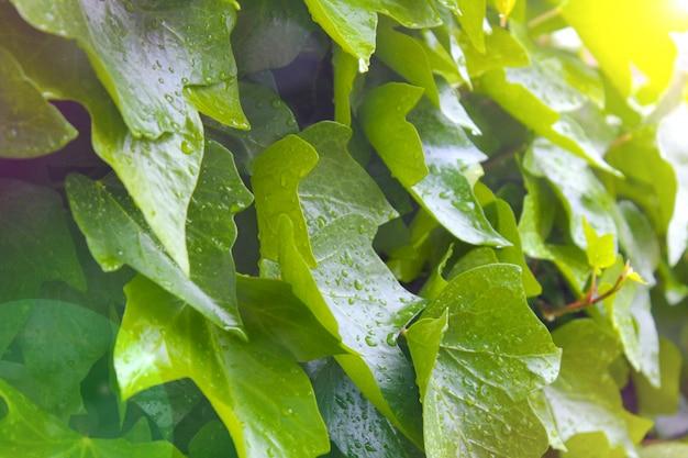 Hermosa hoja verde con gotas de agua.