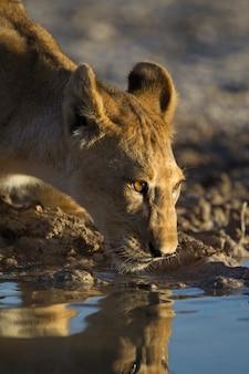 Hermosa leona bebiendo agua del lago con su reflejo en el agua