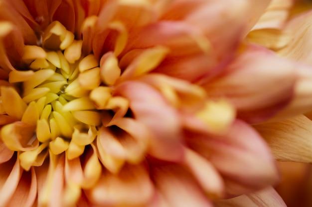 Hermosa macro de crisantemo