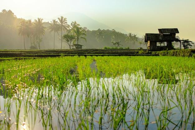 La hermosa mañana en los campos de arroz.
